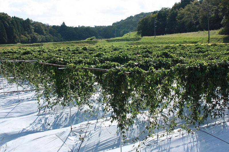 優良自然薯栽培のこだわり